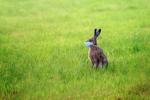 Easter bunny with a coronavirus face mask is sitting alone on a green meadow to avoid an infection during the holidays